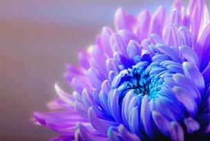 Blue Lotus Flowers - flower picturesflower shop
