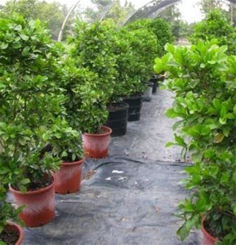 Bibit Tanaman Miracle Fruit I Miracle Berry I Synsepalum Dulcificum tanaman buah buahan tanaman buah ajaib miracle fruit