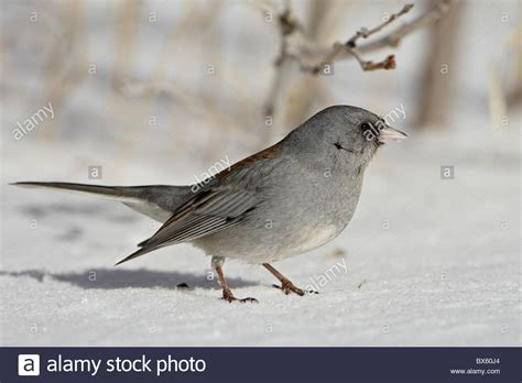 slate colored junco slate colored junco junco hyemalis hyemalis a eyed