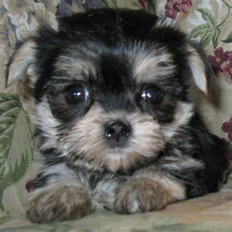 morkie puppies for sale in indiana morkie maltese puppies and yorkie pups for sale