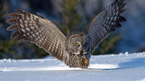 grey owl wallpaper great grey owl full hd wallpaper and background image