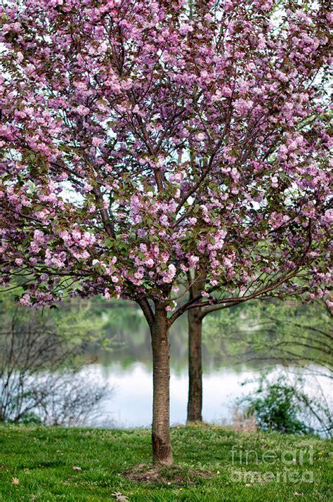 cherry tree investments v landmain 2012 flowering cherry tree photograph by barbara dawson