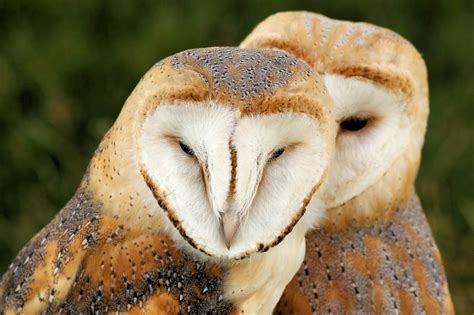 How To Build Barn File Barn Owls Knebworth Country Show 2013 9484398859
