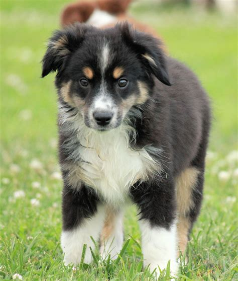 australian sheepdog puppy lovely miniature australian shepherd photo and wallpaper beautiful lovely miniature
