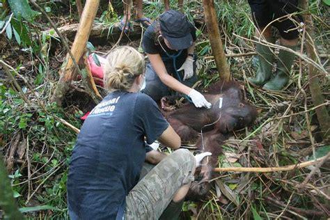 orangutan habitat    destroyed   palm oil