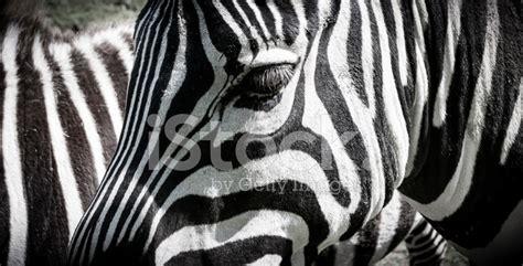 zebra pattern unique zebra unique pattern of white and black stripes stock