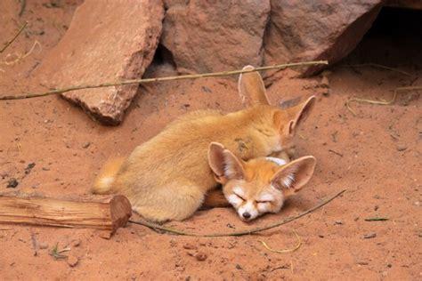 pet fennec fox legal states  care information