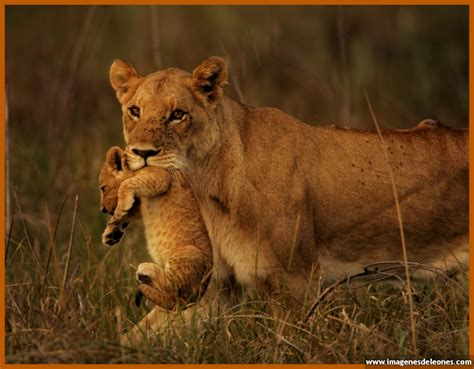 imagenes de leones lindas fotos de leones reales para imprimir archivos imagenes