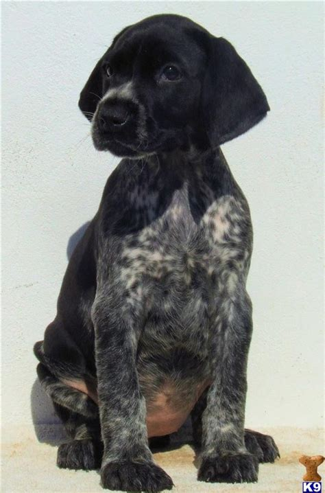 german shorthaired pointer puppies price german shorthaired pointer puppies 31826