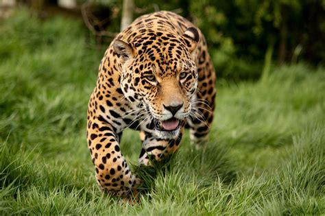 imagenes de jaguar y leopardo il leopardo animali net