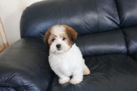havanese breeders in new york havanese puppy photos havanese puppy breeders in new york akc registered puppies