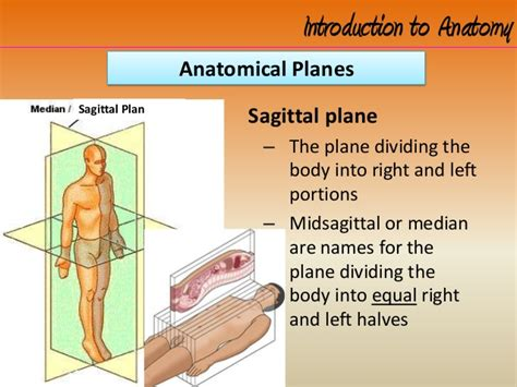 A Section That Divides The Into Left And Right by Intro To Anatomy