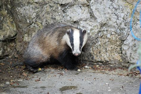 badger rescue saunders