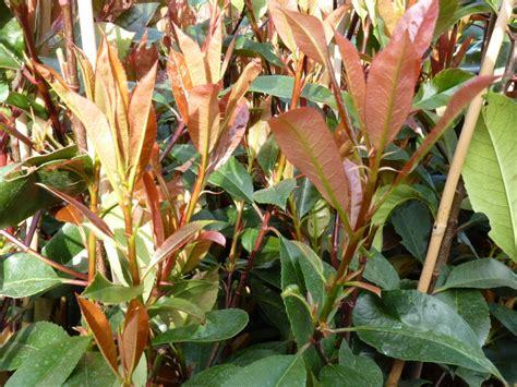 Glanzmispel Robin 24 by Bodendeckerpflanzen Kaufen Photinia Rote