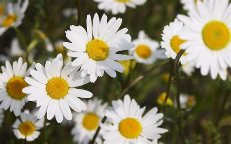 daisy facts 7 interesting facts about daisies