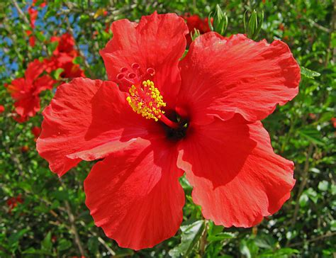 which state has a hibiscus unimaginative me hibiscus our national flower
