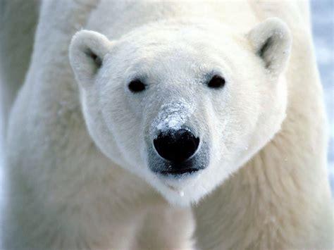 the polar bear polar bear the animal life