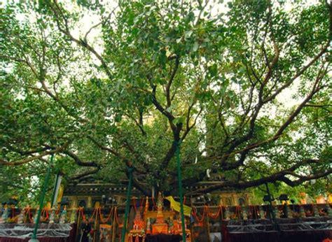 tree in bodhi tree bihar travelguideindia in