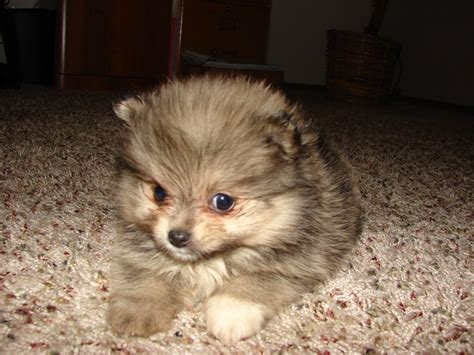 teacup pomeranian price range black and brown teacup pomeranian breeds picture