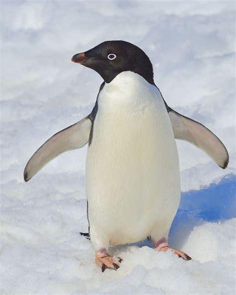 Adelie Penguin | Penguins | Pinterest