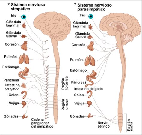 el sistema caged y neurocirugia 191 qu 233 es el sistema nervioso
