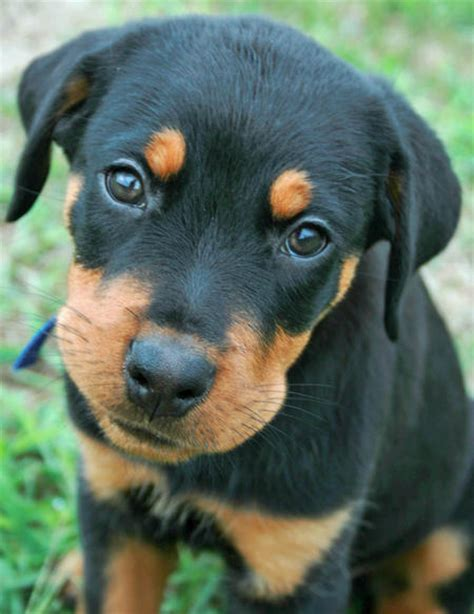 cheap rottweiler puppies moses the rottweiler puppies daily puppy
