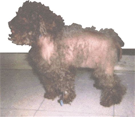 cushings syndrome canine