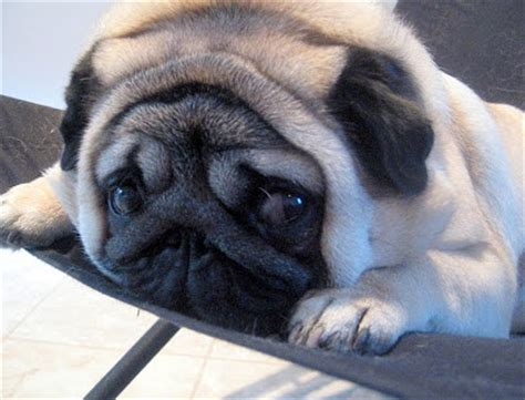 pug encephalitis vet pug encephalitis pde treatment cause prognosis