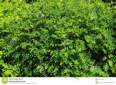 Garden Decorative Bushes by Decorative Bushes Stock Photo Image 49271701