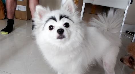 eyebrows on dogs with eyebrows