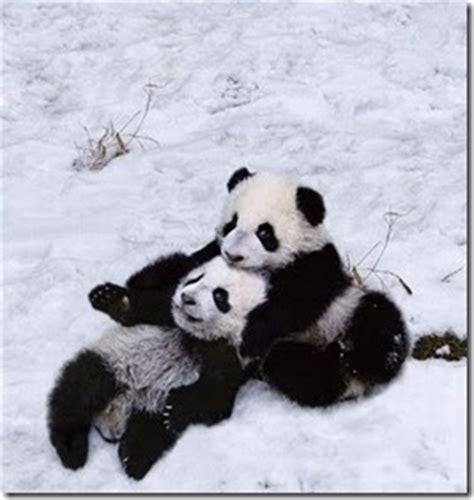 gambar panda lucu musim salju