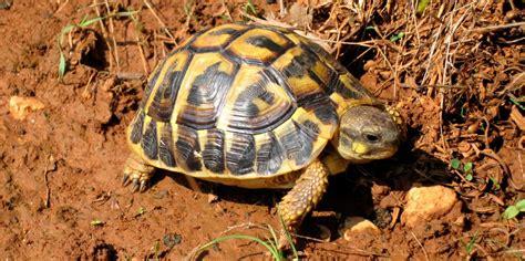 imagenes tiernas de tortugas tortuga mediterr 225 nea