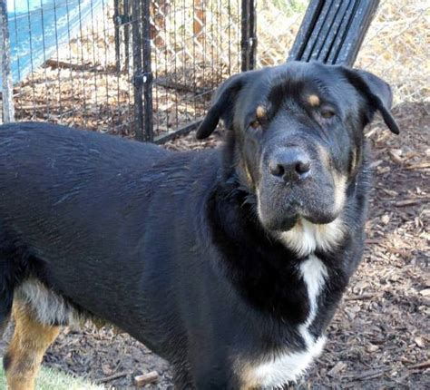 rottweiler shar pei mix pin my friend bernard on