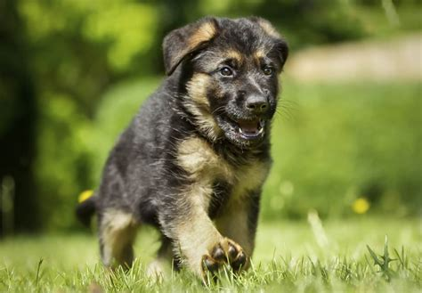 german sheppard puppies german shepherd puppies for sale akc puppyfinder