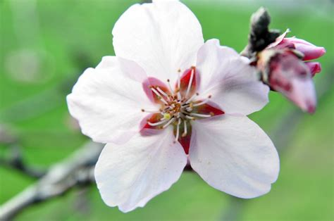 flowers images apple flower on a branch alegri free photos