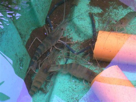 fresh water prawns  aquaponics    philippines