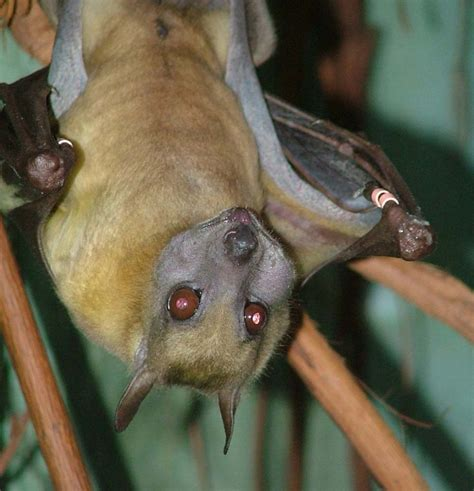 fruit bat straw colored fruit bats discover akron zoo mammals