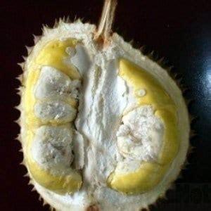 Jual Bibit Durian Okulasi Kaki Tiga Duri Hitam Ukuran 80 100 Cm jual bibit unggul tanaman durian duri hitam black kaki tiga bibit