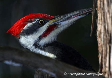 pileated woodpecker s tongue photo golfpic photos at