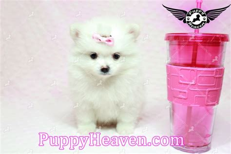 pomeranian puppies los angeles teacup pomeranian puppies in los angeles