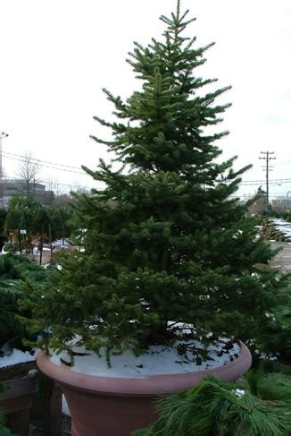 28 best replant christmas tree rent a living xmas tree