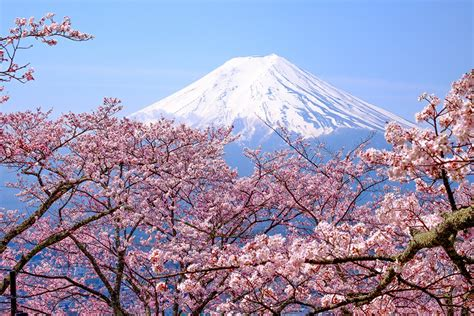 japanese cherry blossom tree cherry blossoms in japan can you rely on the forecast