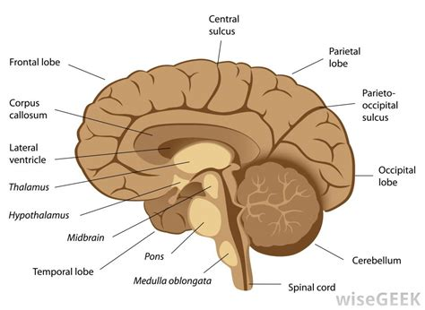 cross section of the human brain what is functional neurosurgery with pictures