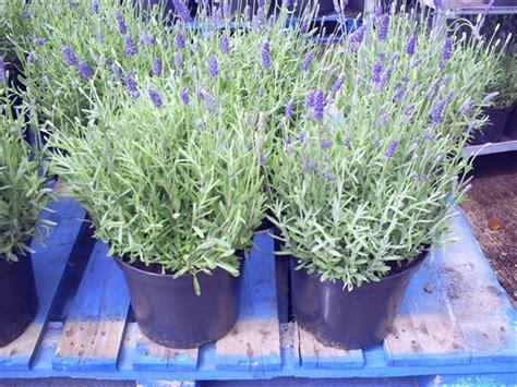 Raflesia Lavender the garden of eaden march 2013