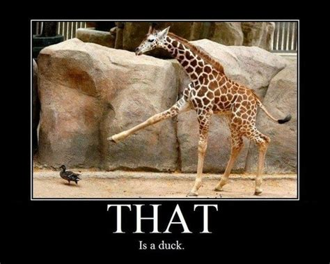 Giraffe Meme - that is a duck