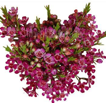 light pink wax flower wax flower buy fresh white waxflower for wedding