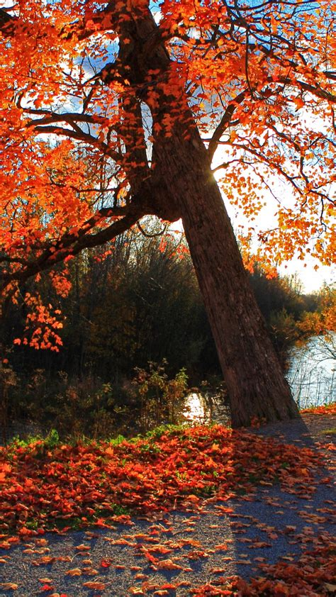 autumn wallpaper hd android red autumn tree best hd wallpapers for iphone and