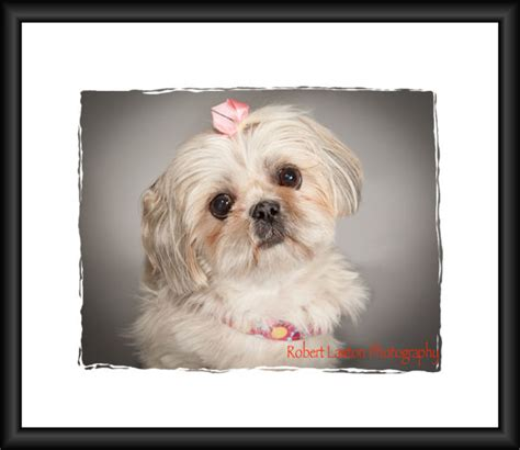 shih tzu rescue mn strmn shih tzu rescue of minnesota