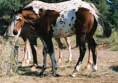 view topic bhs palomino brindle pinto mare chicken smoothie