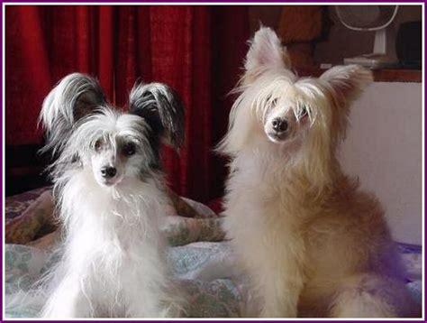crested powder puff chinese crested dog powderpuff image